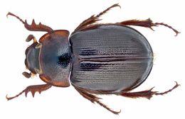 Image de <i>Phaeochrous emarginatus</i> Castelnau 1840