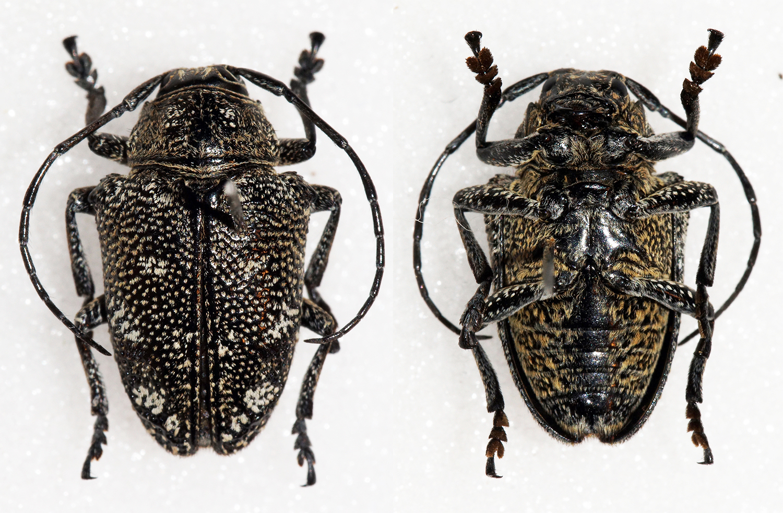 Image of <i>Dichostates flavopictus</i> Quedenfeldt 1882