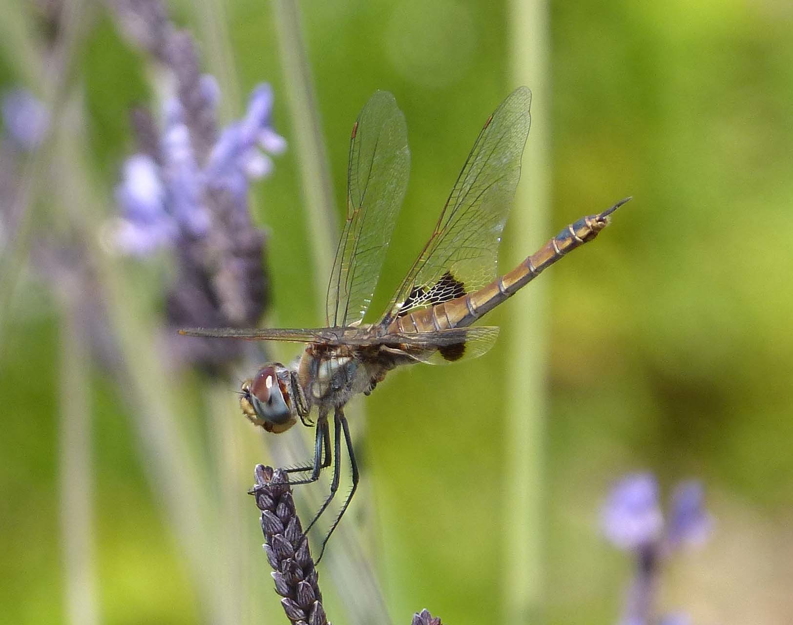 Image of Common Glider