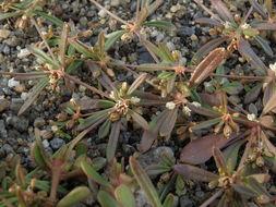 Image of green carpetweed