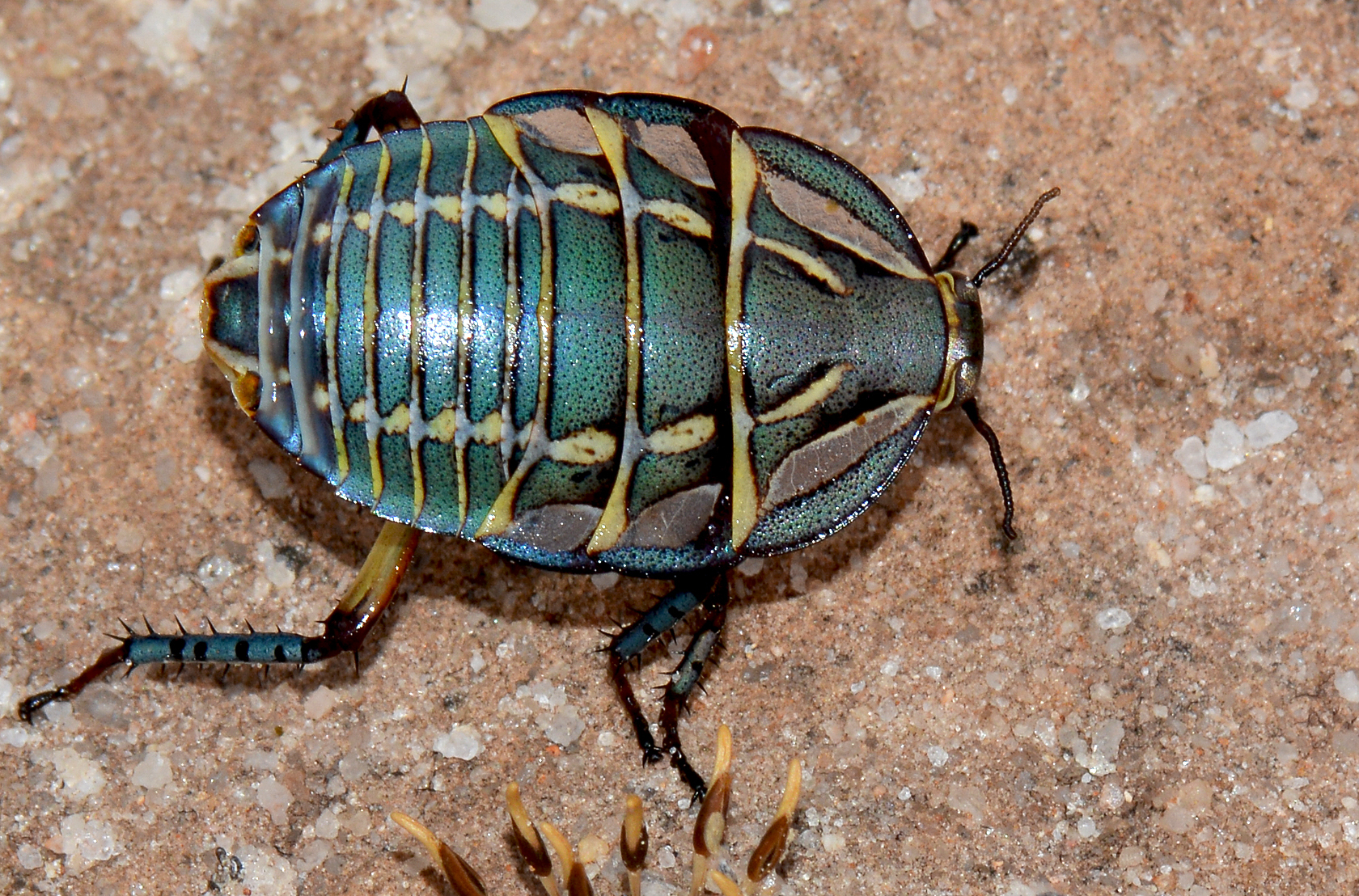 Image of Mardi Gras Cockroach