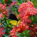 Image of Golden Birdwing