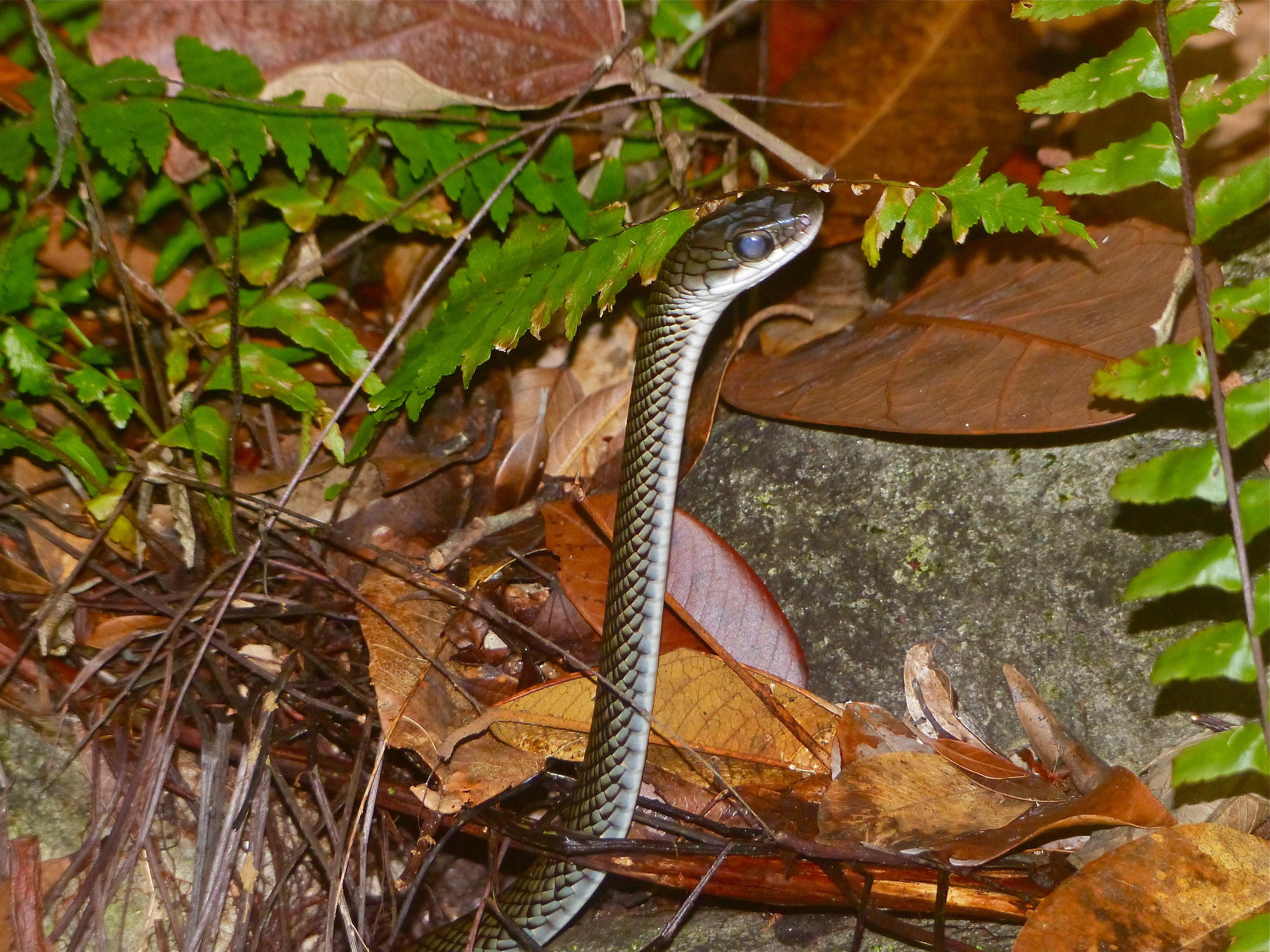 Image of White-bellied Rat Snake