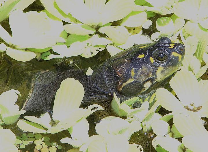 Image of Six-tubercled Amazon River Turtle