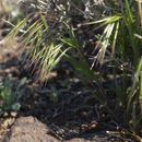 Image of Drooping Brome