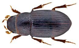 Image of <i>Paradidactylia venaloides</i> (Endrödi 1960)