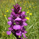 Image of Stately Dactylorhiza