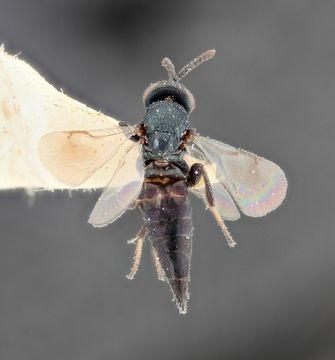 Image of <i>Colotrechnus subcoeruleus</i> Thomson 1878