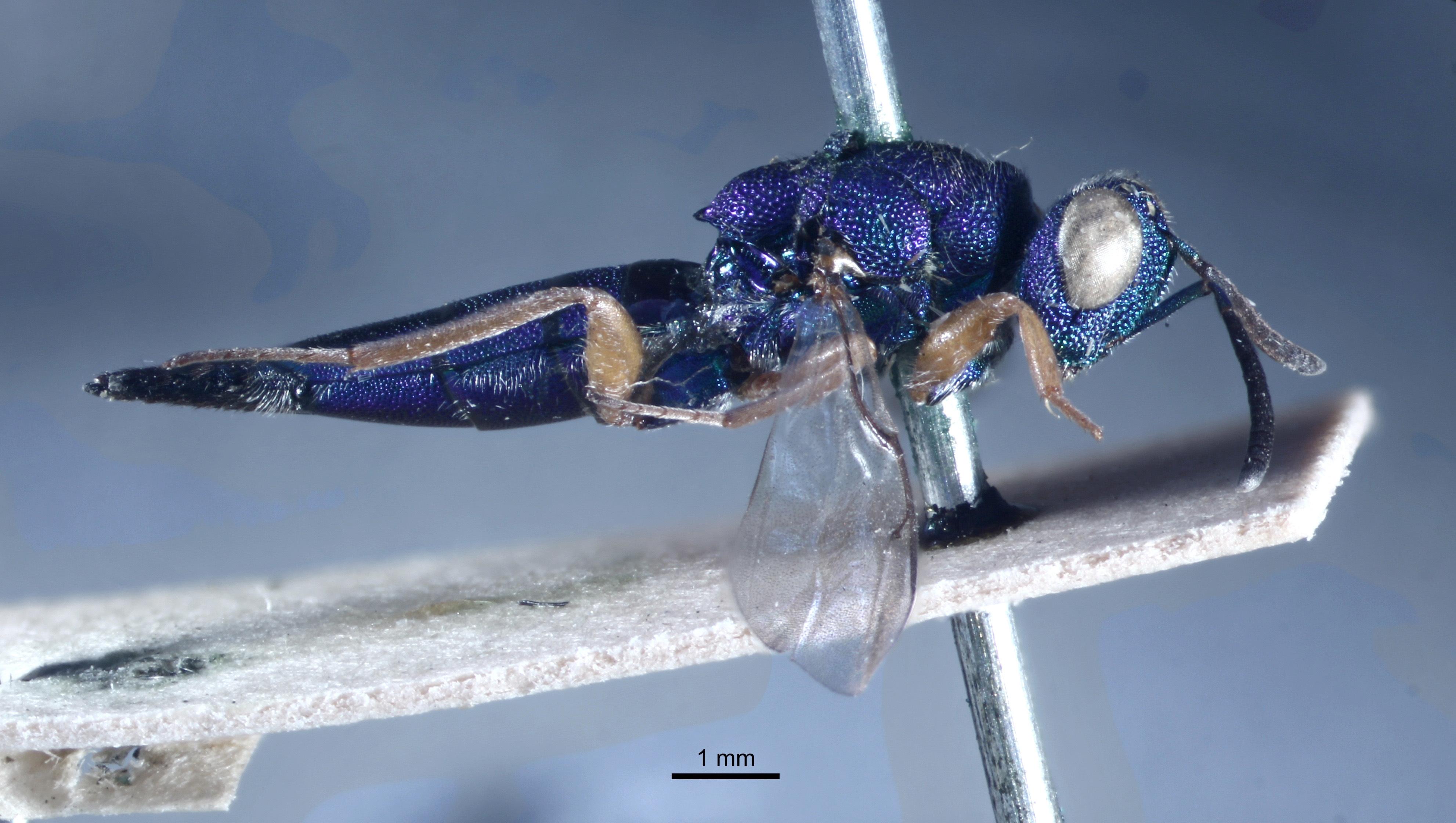 Image of <i>Epistenia coeruleata</i> Westwood 1832