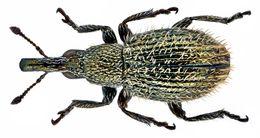 Image of <i>Phrissotrichum tubuliferum</i> (Wollaston 1864) Wollaston 1864