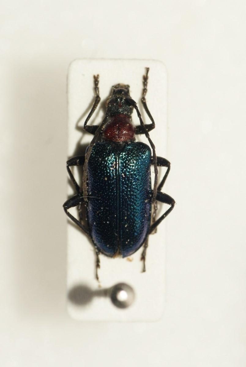 Image of <i>Gaurotes</i> (<i>Carilia</i>) <i>virginea thalassina</i> (Schrank 1781)