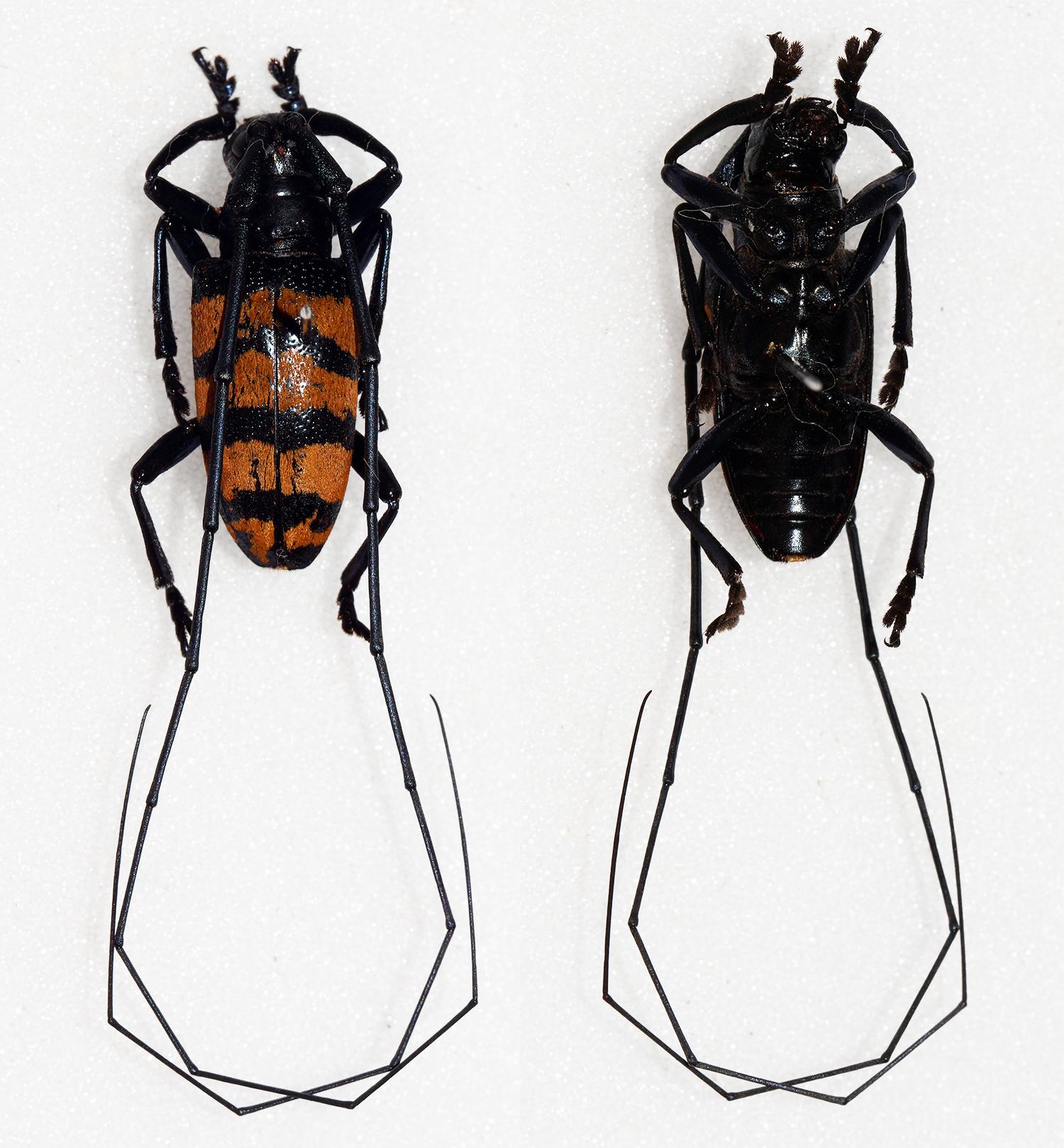 Image of <i>Agnia fasciata</i> Pascoe 1859