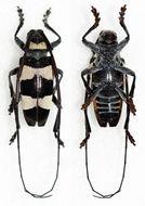 Image of <i>Cereopsius cabigasi</i> Vives 2005