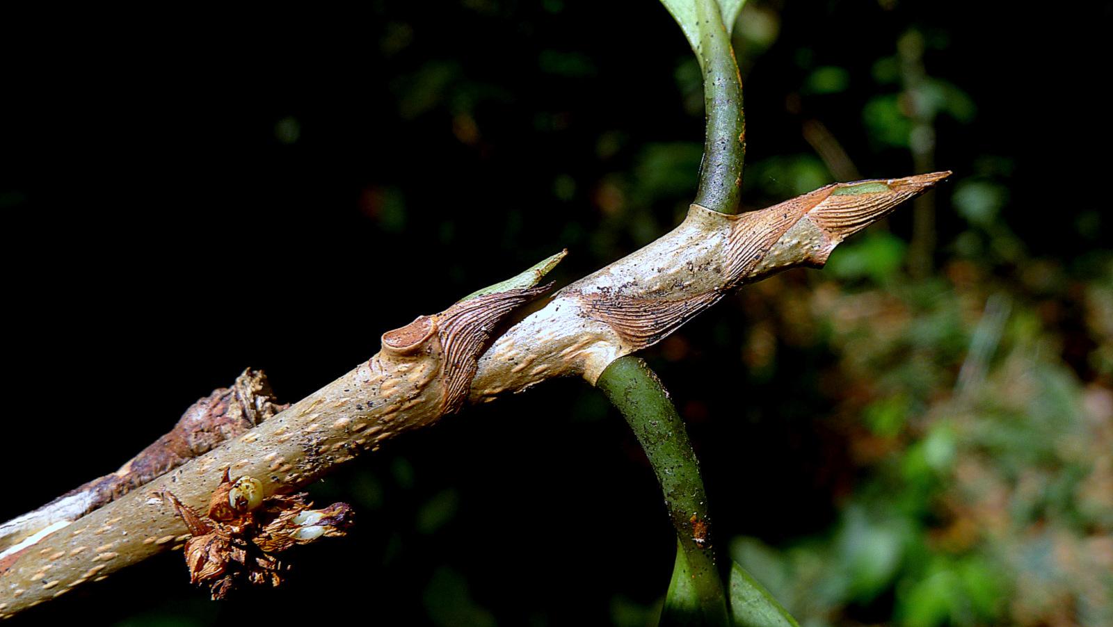Image of <i>Erythroxylum nobile</i> O. E. Schulz