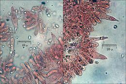 Image of <i>Melanoleuca polioleuca</i> (Fr.) Kühner & Maire 1934