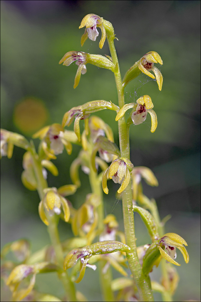 Image of Yellow coralroot