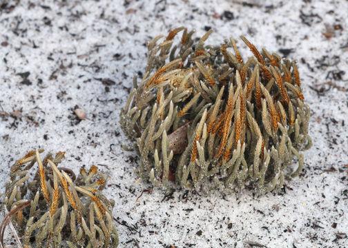Image of sand spikemoss