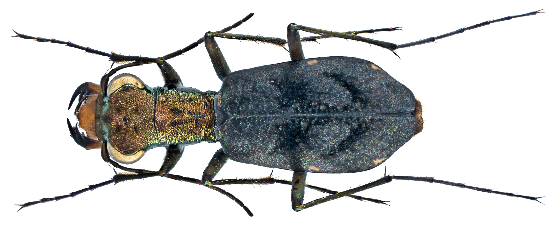 Image of <i>Cylindera delavayi</i>