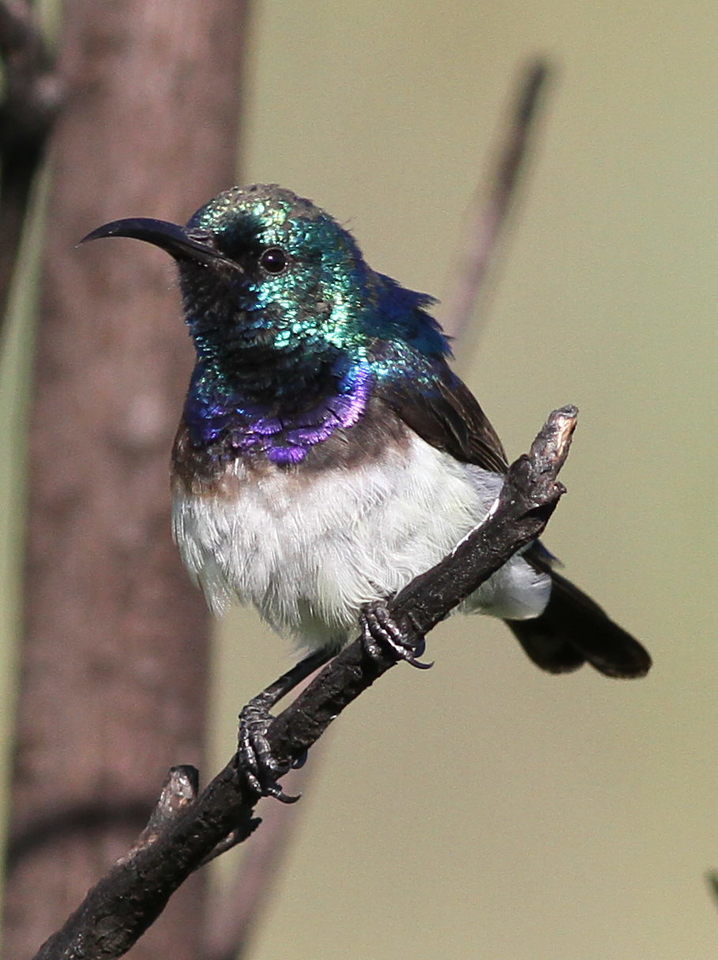 Image of White-bellied Sunbird
