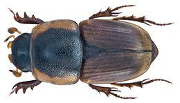 Image of <i>Neocolobopterus maculicollis</i> (Reiche 1847)