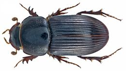 Image of <i>Pharaphodius discolor</i> (Erichson 1842)