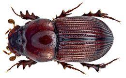 Image of <i>Pharaphodius guineensis</i> (Klug 1835)