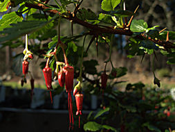 Image of fuchsiaflower gooseberry