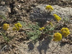 Image of desert biscuitroot