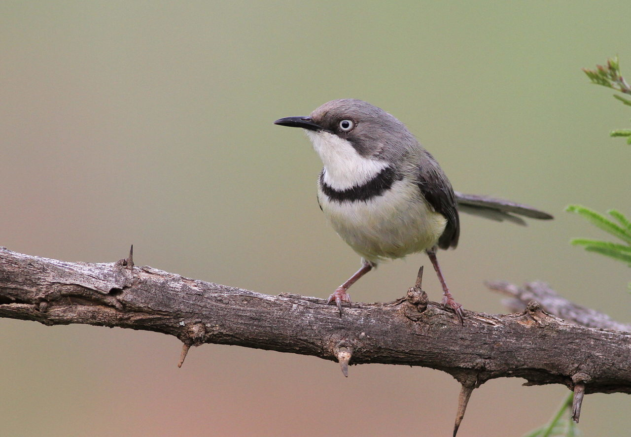 Image of Bar-throated Apalis