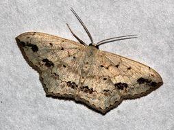 Image of <i>Scopula pulchellata</i> Fabricius 1794