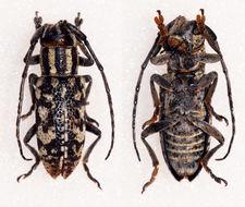 Image of <i>Pterolophia</i> (<i>Lychrosis</i>) <i>zebrina</i> (Pascoe 1858)