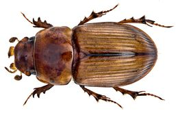 Image of <i>Pharaphodius levithorax</i> (Bordat 1992)