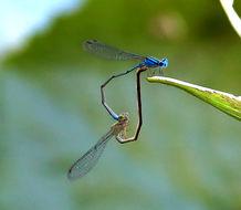Image of Blue Riverdamsel