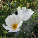 Image of smooth pricklypoppy