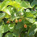 Image of <i>Nauclea orientalis</i> (L.) L.