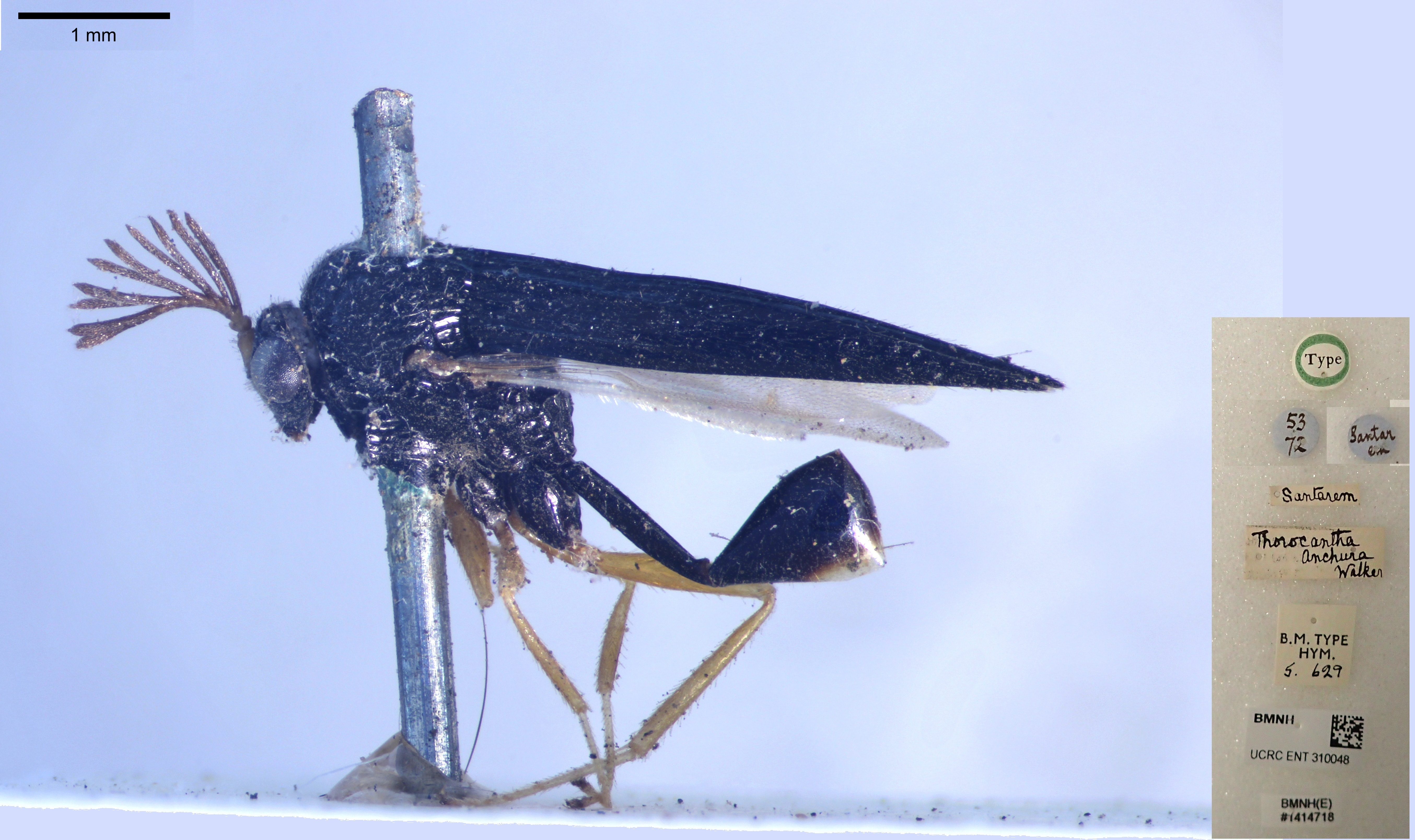 Image of <i>Thoracantha anchura</i> Walker 1846