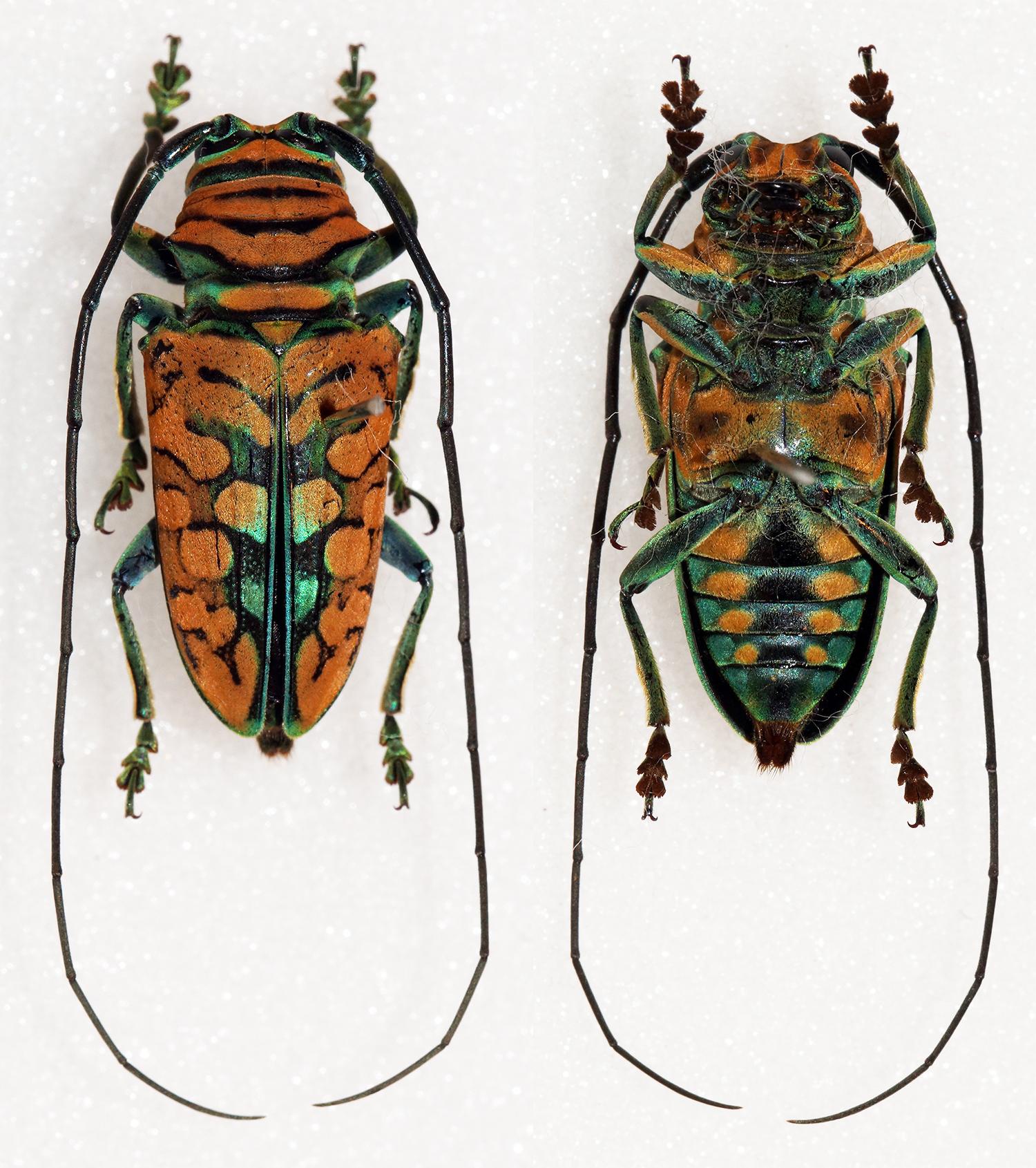 Image of <i>Sternotomis strandi</i> Breuning 1935