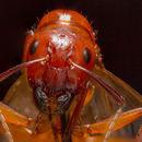 Image de <i>Camponotus castaneus</i> (Latreille 1802)
