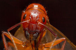 Слика од <i>Camponotus castaneus</i> (Latreille 1802)