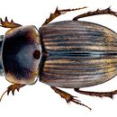 Image of <i>Gilletianus reichei</i> (Harold 1859)