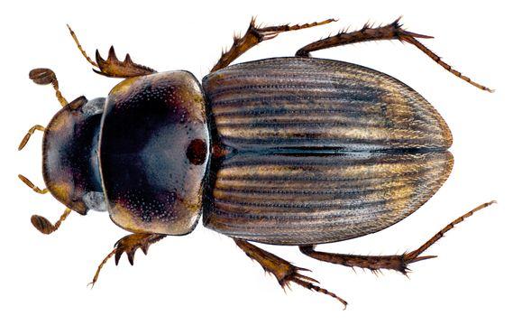 Image of <i>Gilletianus reichei</i> (Harold 1859)