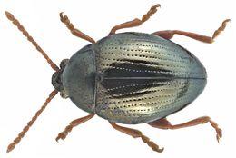 Image of <i>Minota obesa</i> (Waltl 1839) Waltl 1839