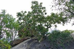 Image of Large-leaved rock fig