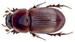 Image of <i>Pharaphodius infinitus</i> (Schmidt 1920)