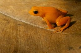 Image of Ginger Tree Frog