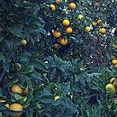 Image of sweet orange