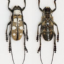 Image of <i>Dolichoprosopus lethalis</i> (Pascoe 1866)