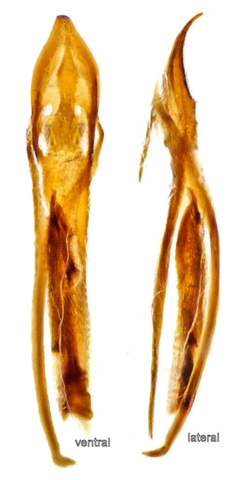 Image of <i>Corticaria fulva</i> (Comolli 1837) Comolli 1837