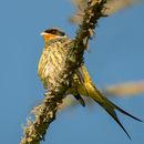 Image of Swallow-tailed Cotinga