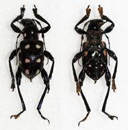 Image of <i>Doliops duodecimpunctata</i> Heller 1923